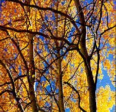 Aspen Tree's Beauty in Fall